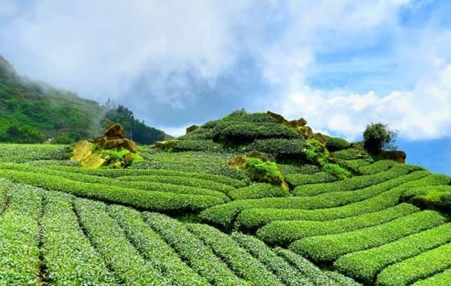 Tea Gardens is one of the best places to visit in Darjeeling