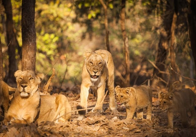 Travel Guide To Gir Forest National Park Gujarat